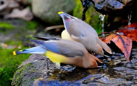 Cedar Waxwings Drink Water