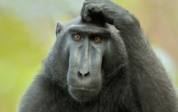 Celebes Crested Macaque (click to view)