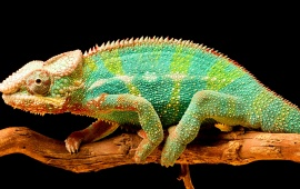 Chameleon Color Tail