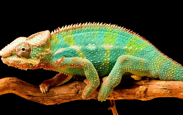 Chameleon Color Tail (click to view)