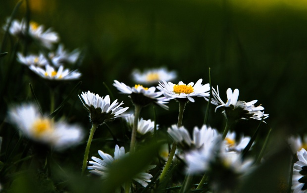 Chamomile Flowers Plants (click to view)