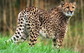 Cheetah And Grassland