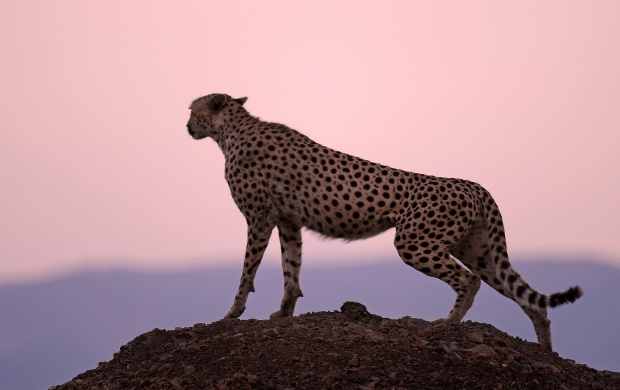 Cheetah Habitat (click to view)