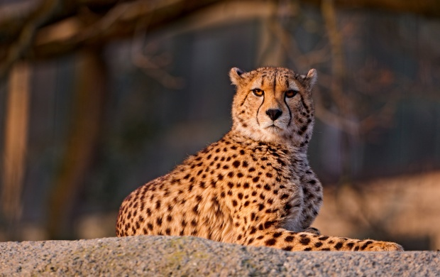Cheetah On Rock (click to view)