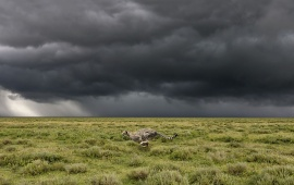Cheetah Running From the Storm