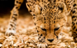 Cheetah Snout