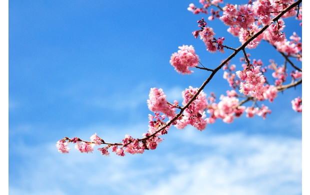 Cherry Blossom Branch (click to view)