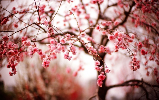 Cherry Blossom Tree (click to view)