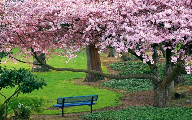 Cherry Blossoms (click to view)
