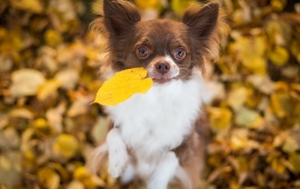 Chihuahua Dog Leaves Bokeh