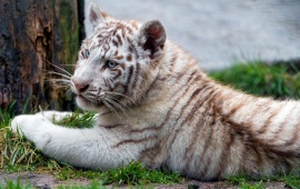 Chilling White Tiger Cub