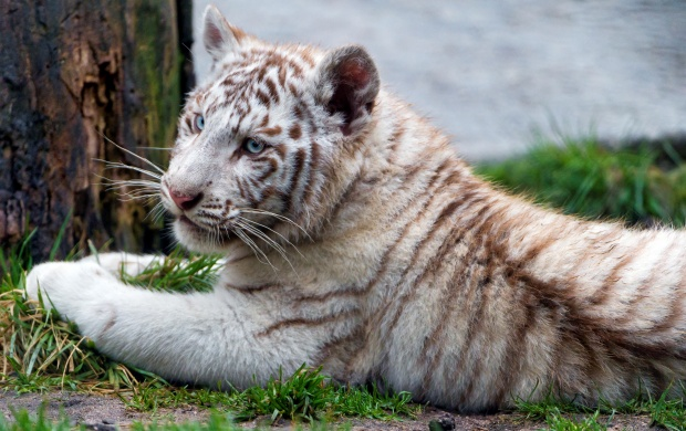 Chilling White Tiger Cub (click to view)