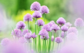 Chives Pink Flowers