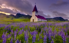 Church In Field Of Lupines