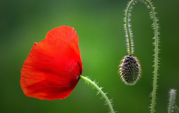 Close-Up Poppy Bud (click to view)