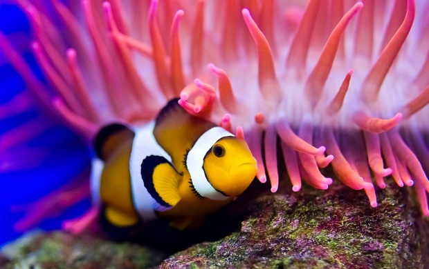 Clown Fish Ocean Bottom (click to view)