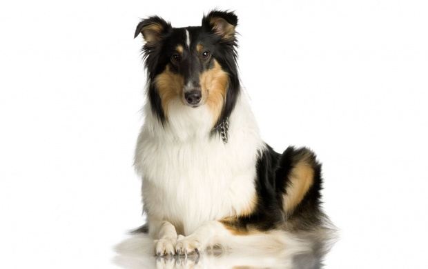 Collie Dog (click to view)