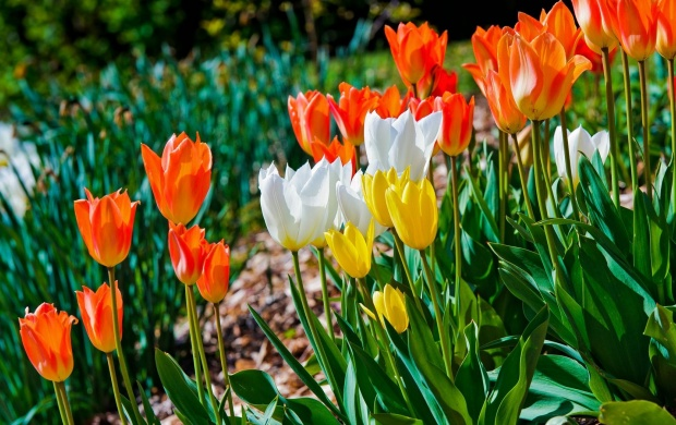 Colored Tulips Garden (click to view)