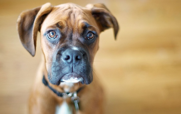 Confused Boxer (click to view)