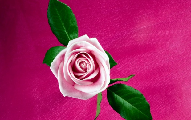 Cool Pink Rose (click to view)