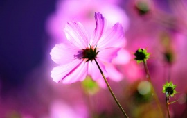 Cosmos Buds Flower Light