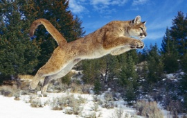 Cougar Jump in the Snow