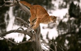 Cougar Jump On Tree