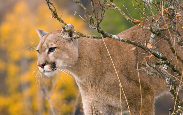 Cougars Autumn (click to view)