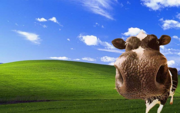 Cow Bliss (click to view)