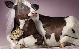 Cow Wedding