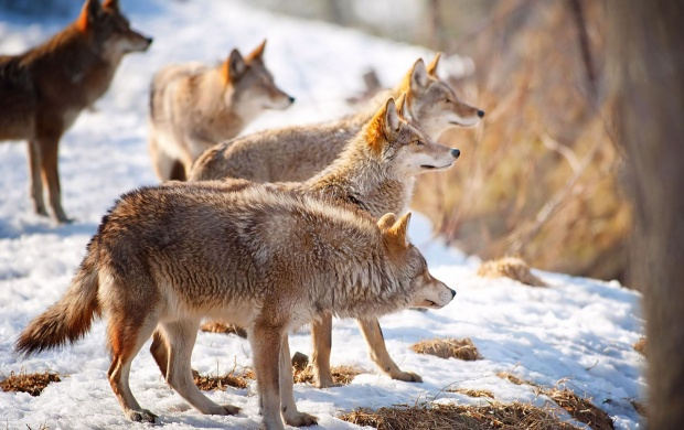 Coyotes Winter Snow (click to view)