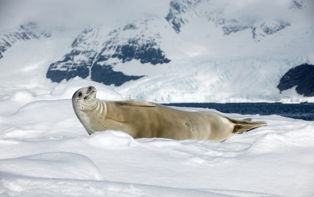 Crabeater Seal (click to view)