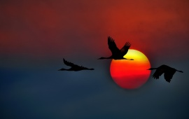 Crane Bird Sunset Flying
