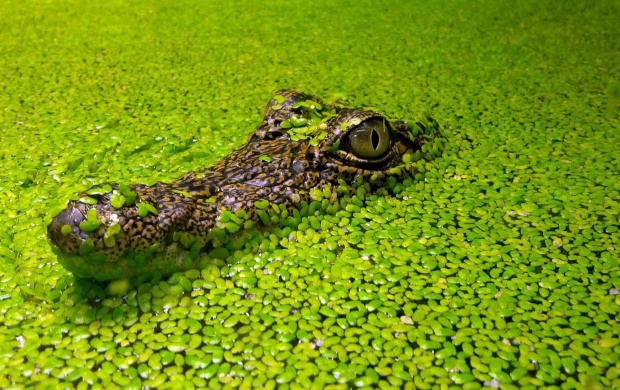 Crocodile In Green Lake (click to view)