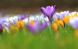 Crocus Spring Flowers Grass