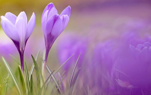 Crocuses Flowers Spring (click to view)