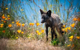 Cross Fox In Grass With Flowers