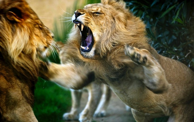 Image Of A Roaring Lion Dowload: Cruel Lions Wallpapers