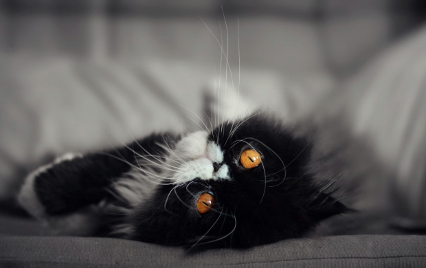 Cute Black And White Kitten Wallpapers