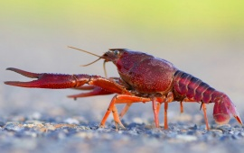 Cute Crayfish