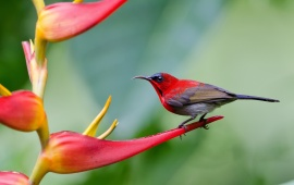 Cute Crimson Sunbird