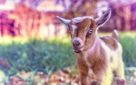Cute Goat Baby