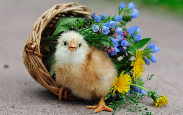 Cute Little Chicken (click to view)