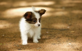 Cute Papillon Puppies