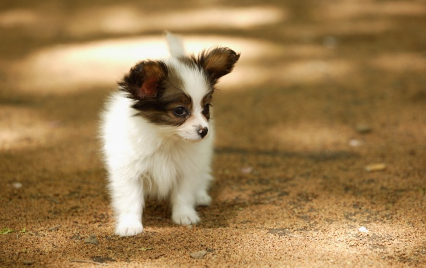 Cute Papillon Puppies (click to view)