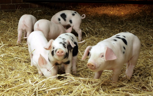 Cute Pigs (click to view)