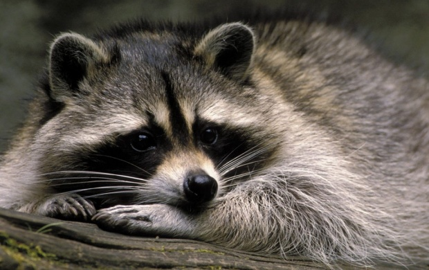 Cute Raccoon (click to view)