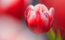 Cute Red Tulip