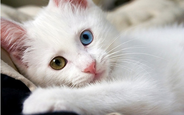 Cute White Cat (click to view)