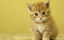 Cute Yellow Cat